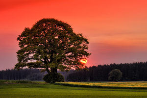 Oak Tree at Sunse